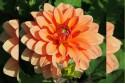 Dahlia Summer Flame - BIO