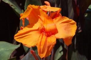 Canna orange - BIO