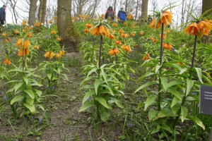 Fritillaria imperialis Early dream