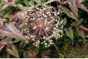 Allium Christophii - BIO