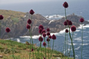 Allium Sphaerocephalon - BIO
