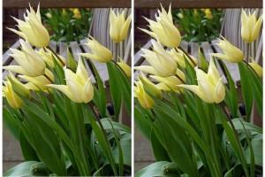 Tulipa Sapporo - BIO