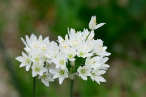 Allium Cowanii - BIO