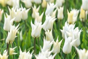 Tulipa Sapporo - ORG