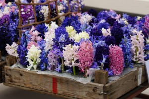 Hyacinthus Mix - ORG