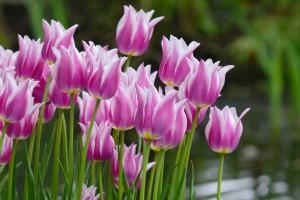 Tulipa Ballade - BIO