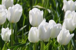 Tulipa White Dream - BIO