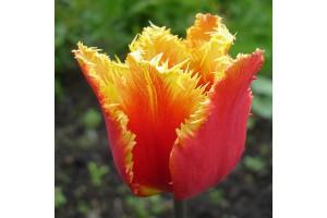 Tulipa Gusto - BIO