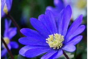 Anemone blanda blue - BIO