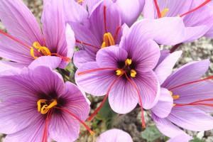 Crocus SATIVUS (Saffron) - ORG