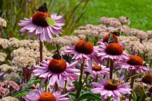 Echinacea purp. Magnus - BIO