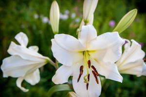 Lilium oriental white - BIO