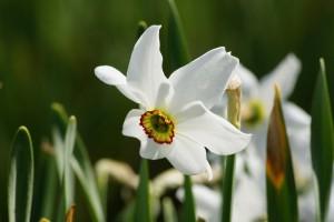 Narcissus Recurvus - ORG