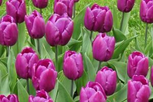 Tulipa Purple Prince - ORG