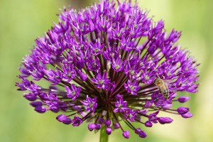 Allium Purple Sensation - ORG
