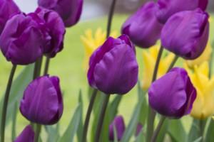 Tulipa Negrita - ORG