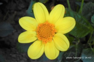 Dahlia Topmix Yellow - BIO