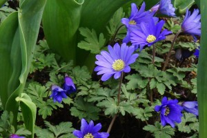 Anemone blanda blue - ORG