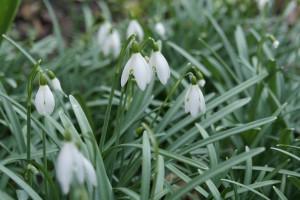 Snowdrops (Galanthus...