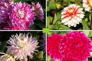 Dahlia Mix Red-Pink 4 ST - BIO