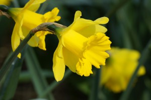 Narcissus Dutch Master - BIO