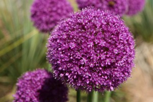 Allium Gladiator - BIO