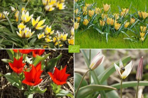 Dwarf Tulips for...