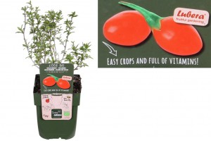 Goji berry bush - ORG