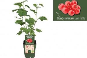 Redcurrant shrub - ORG