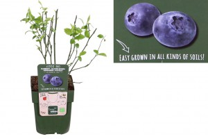 Blueberry bush - ORG