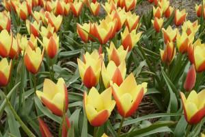 Tulipa clusiana Taco - ORG