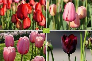 Tulipa Mix VELT - ORG