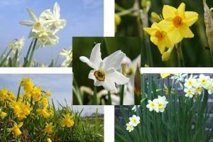 Narcissus Mix VELT - BIO