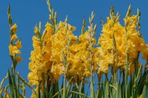 Gladiolus Yellow - ORG