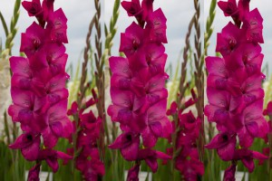 Gladiolus Purple - ORG