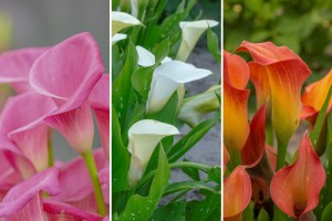 Calla Mix - ORG