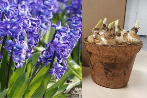 Potted Blue Delft Hyacinth...
