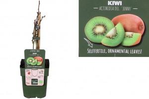 Kiwi Jenny bush - ORG