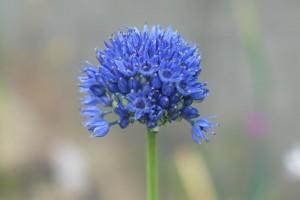 Allium azureum - BIO