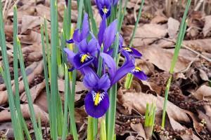 Iris reticulata Harmony - BIO