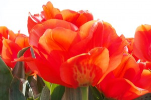 Tulipa Giant Orange Sunrise...