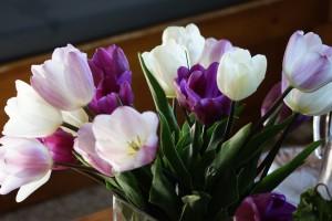 Tulipa Mix Prince - ORG