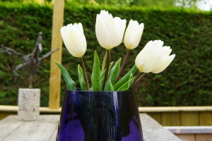Tulipa White Prince - ORG
