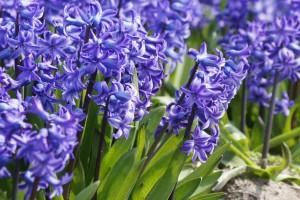 Hyacint Delft Blue - ORG