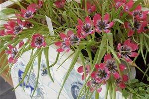 Tulipa Little Beauty - ORG