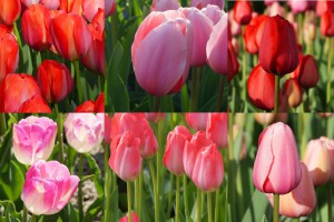 Collection tall tulips - ORG
