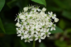 Allium nigrum - ORG