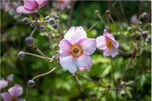 Anemone hup. 'September Charm' - ORG