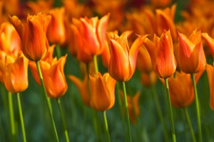 Tulipa Ballerina - ORG