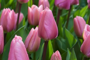 Tulipa Big Love - ORG